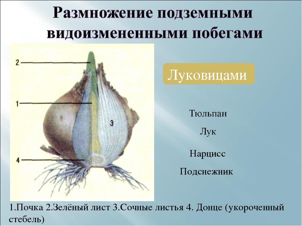 Луковицами Нарцисс Подснежник 1.Почка 2.Зелёный лист 3.Сочные листья 4. Донце...
