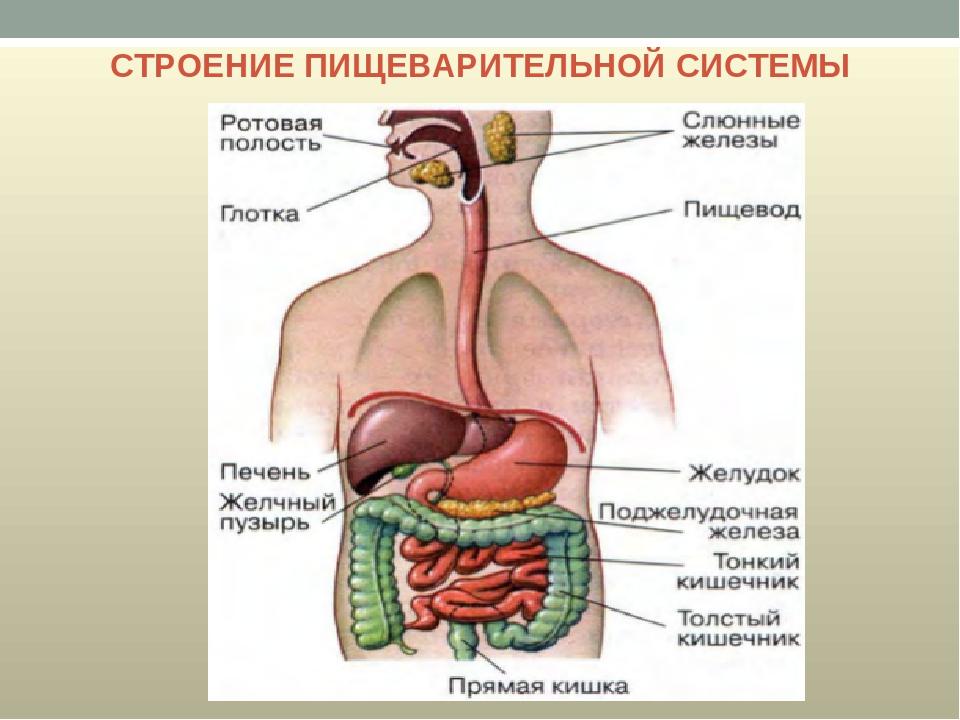 Пищеварительная система картинка анатомия