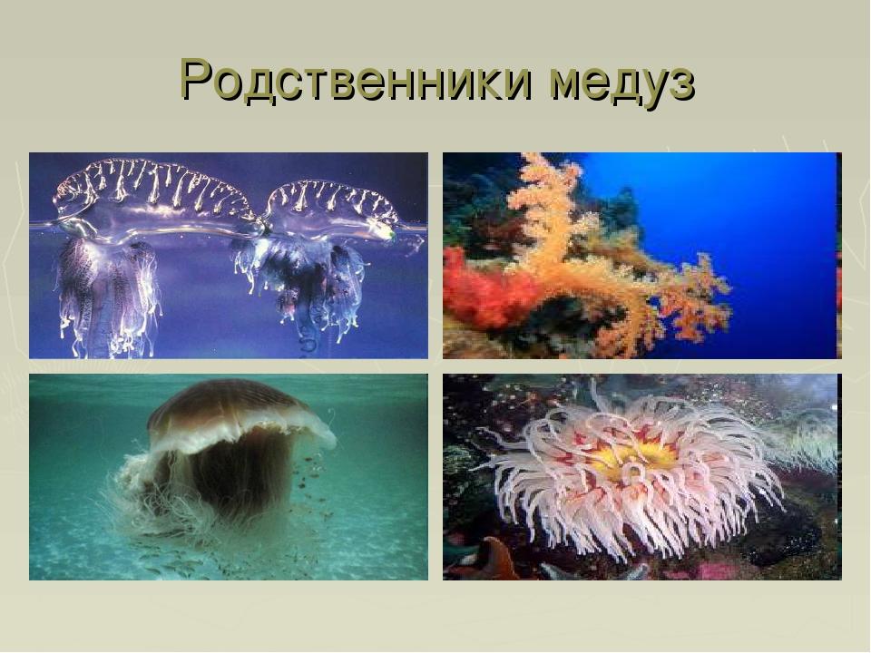 Родственники медуз