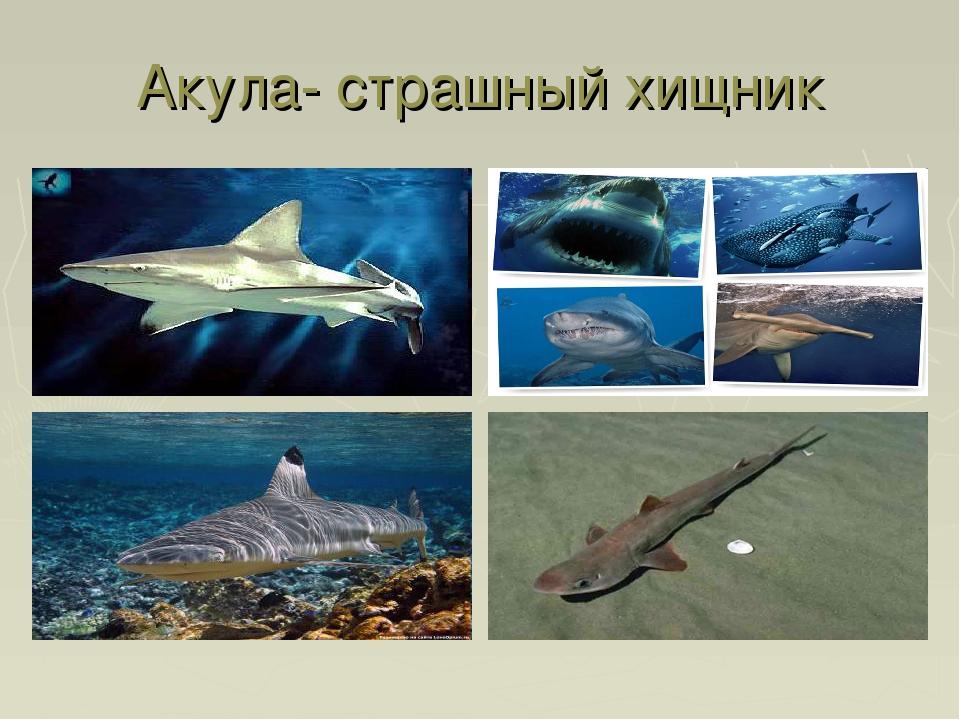 Акула- страшный хищник