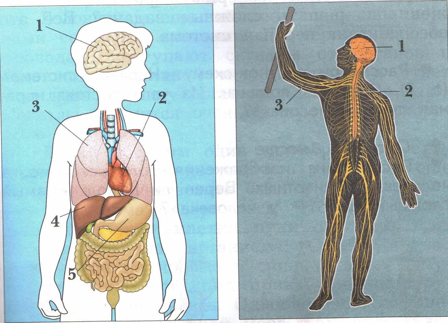Тест по окружающему миру организм человека 4 класс виноградова
