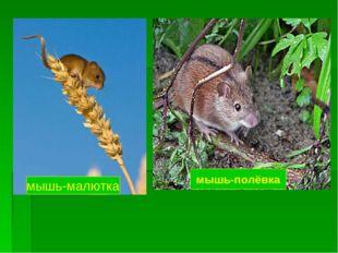мышь-малютка мышь-полёвка