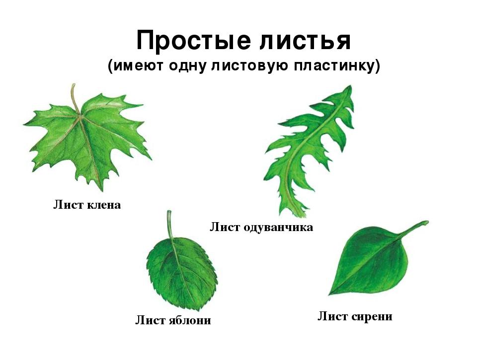 самые лакомые картинка простые листья модель позволит