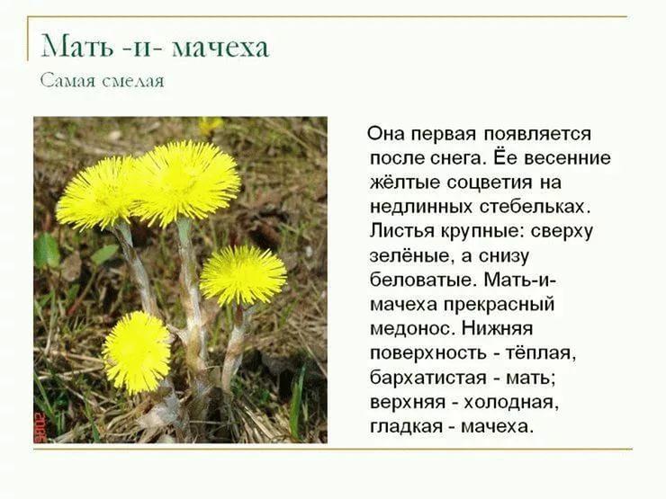 Весенние цветы с описанием и