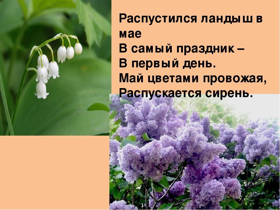 Распустился ландыш в мае В самый праздник – В первый день. Май цветами провож...