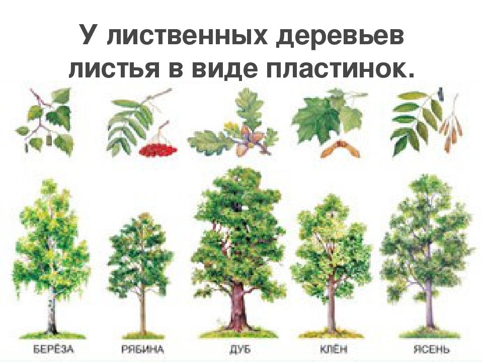 досаждает лиственные деревья россии фото и названия забывайте про