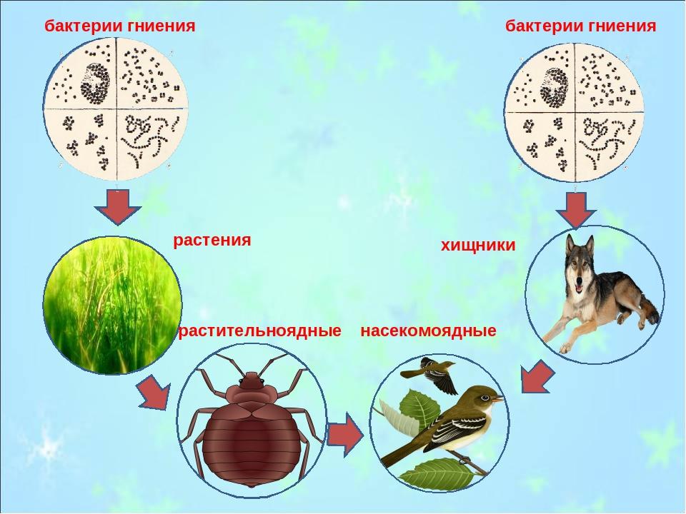бактерии гниения бактерии гниения растения насекомоядные растительноядные хищ...