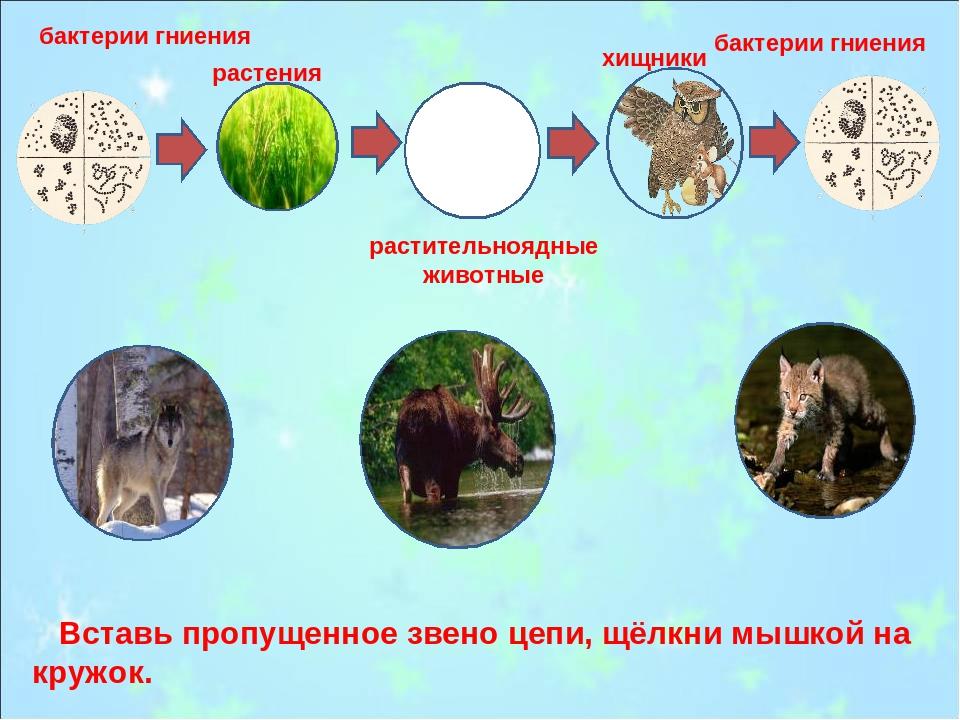 бактерии гниения бактерии гниения растения растительноядные животные хищники...