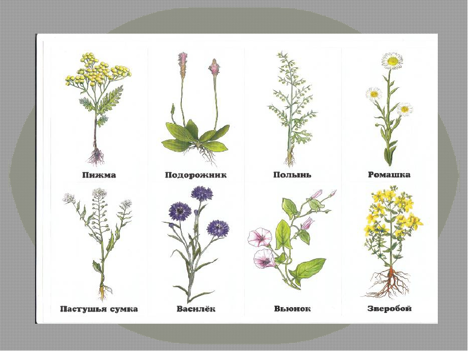 Полевое растение рисунок