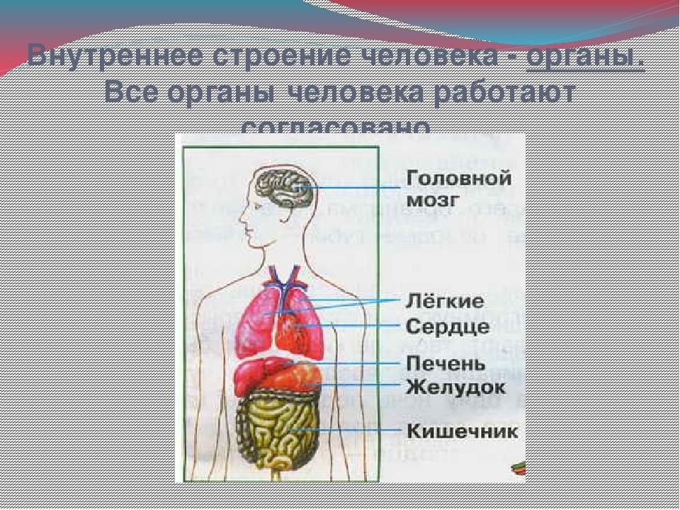 Строение человека на картинке с надписями