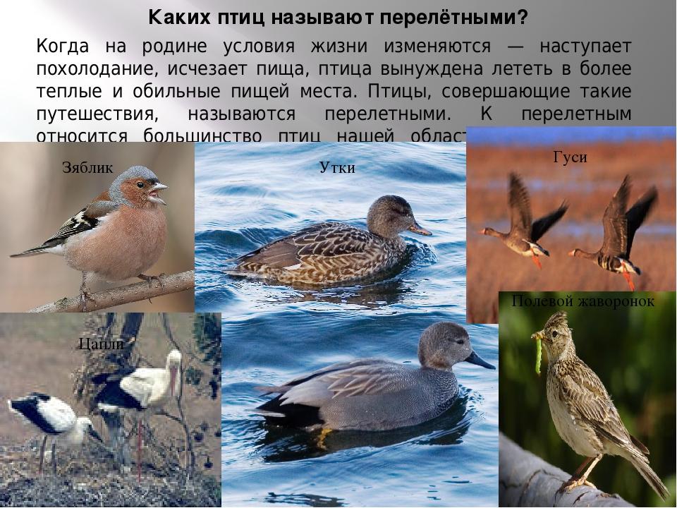 Картинки птиц сибирских лесов с описанием