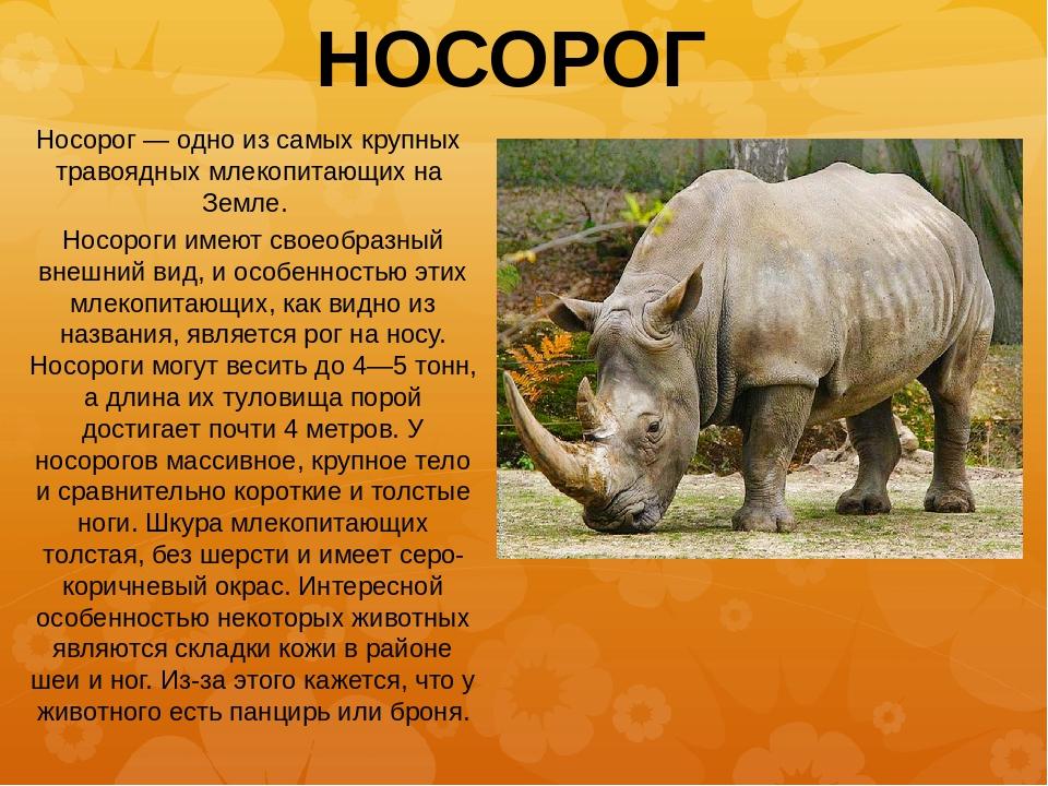 Носорог картинки с описанием