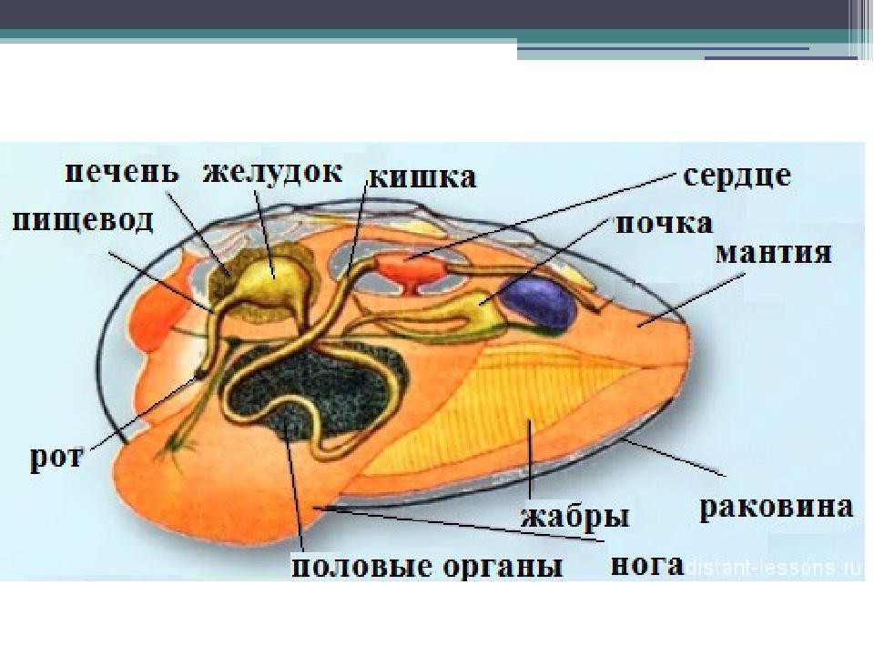 Внутреннее строение двустворчатых моллюсков картинки