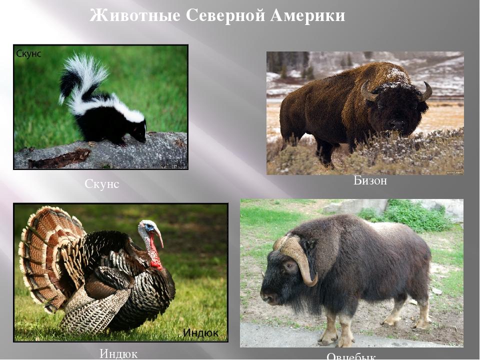 животный мир только северной америки в картинках даже