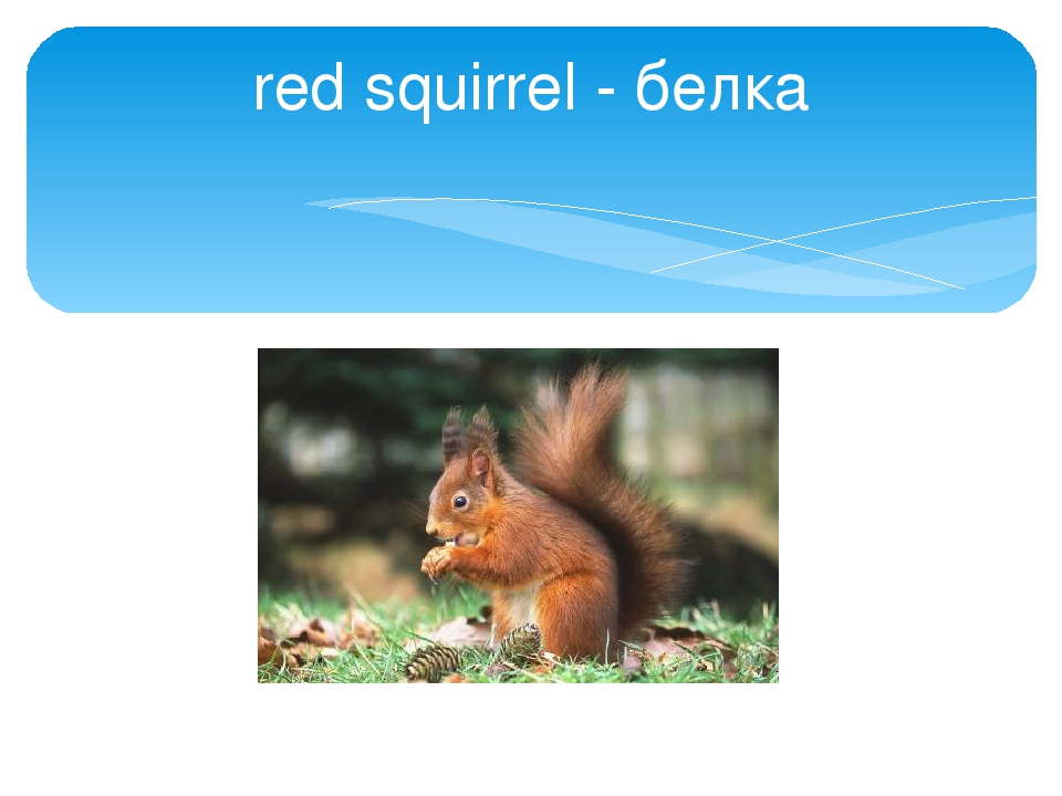 red squirrel - белка
