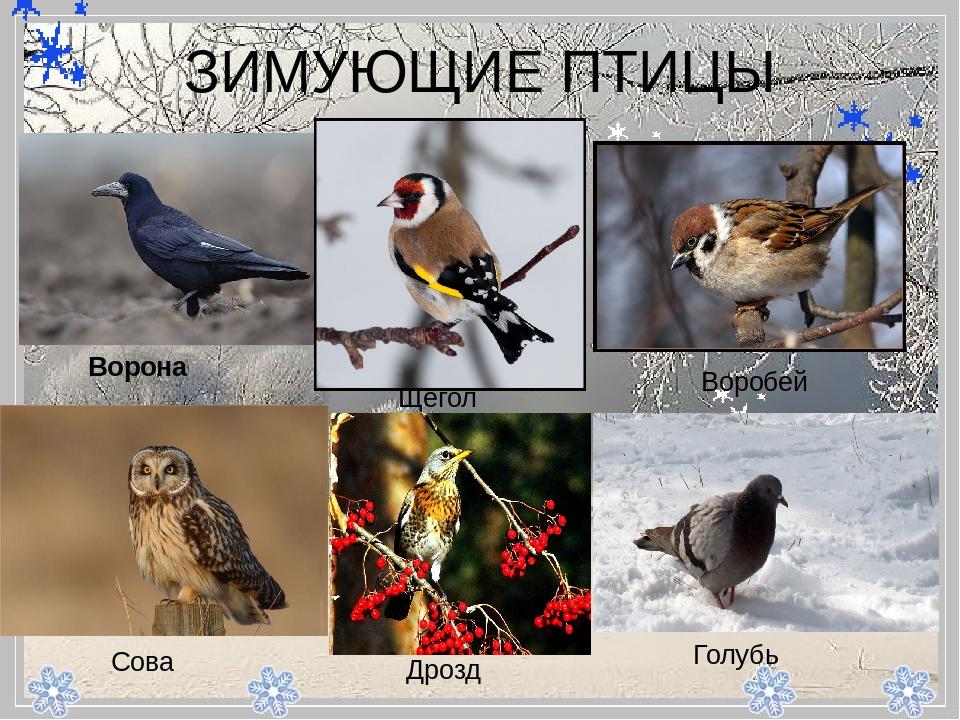 совы перелетные птицы или нет всю свою
