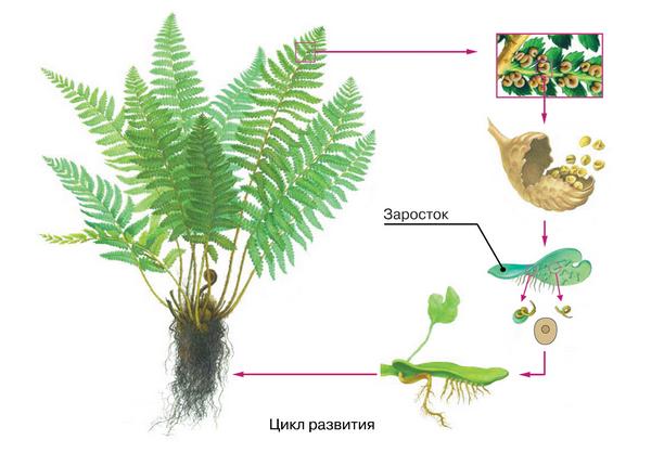 таблица по биологии 6 класс мхи папоротники хвощи и плауны