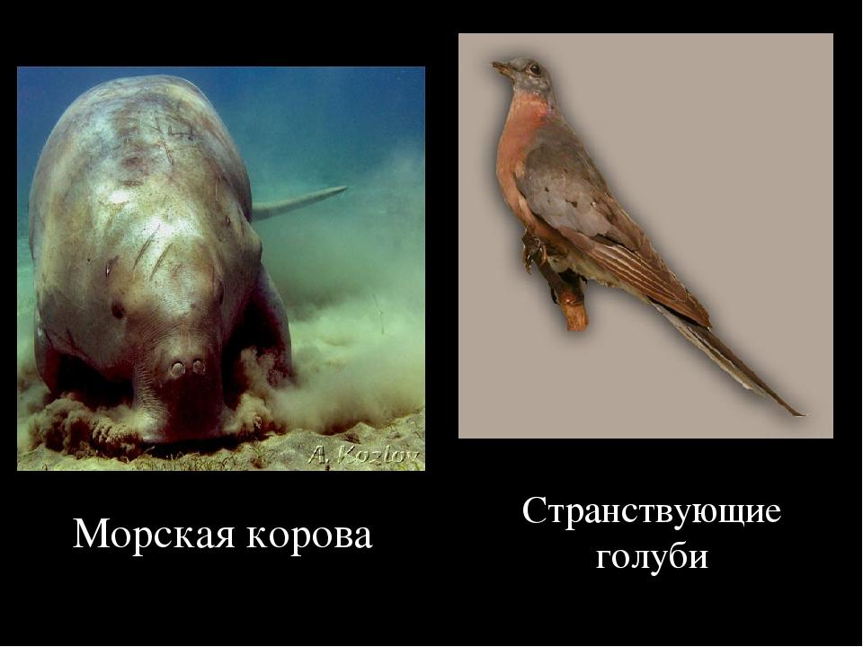 Морская корова Странствующие голуби