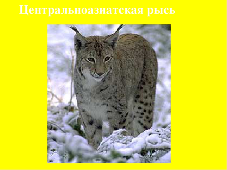 Центральноазиатская рысь
