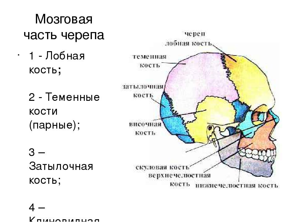 Как называется верхняя часть головы