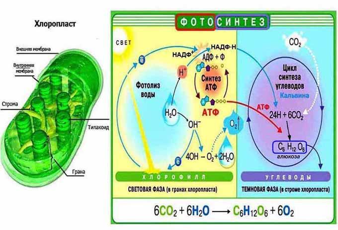 фотосинтез картинки схемы первая