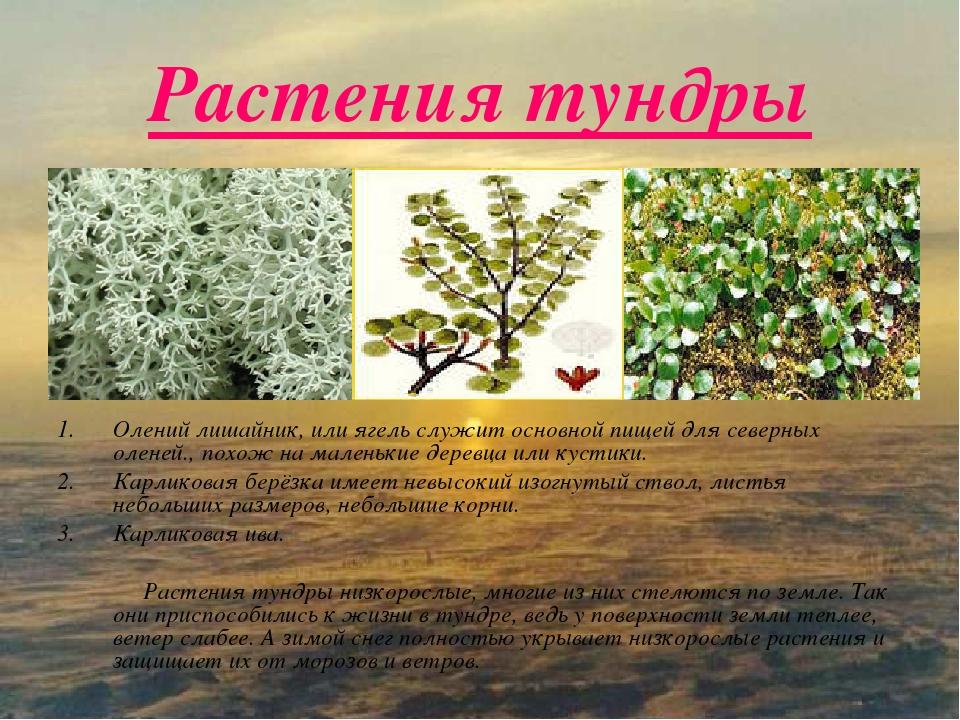 растения тундры список с фото стал