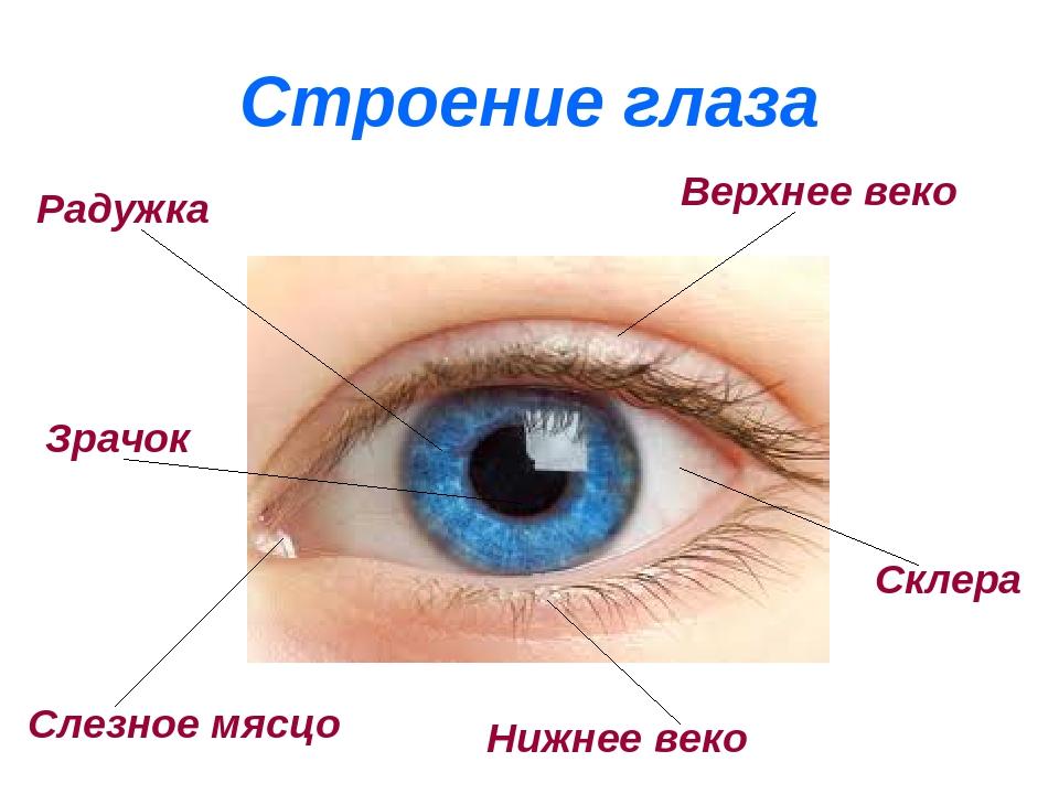 глаз строение глаза человека картинки для сдала