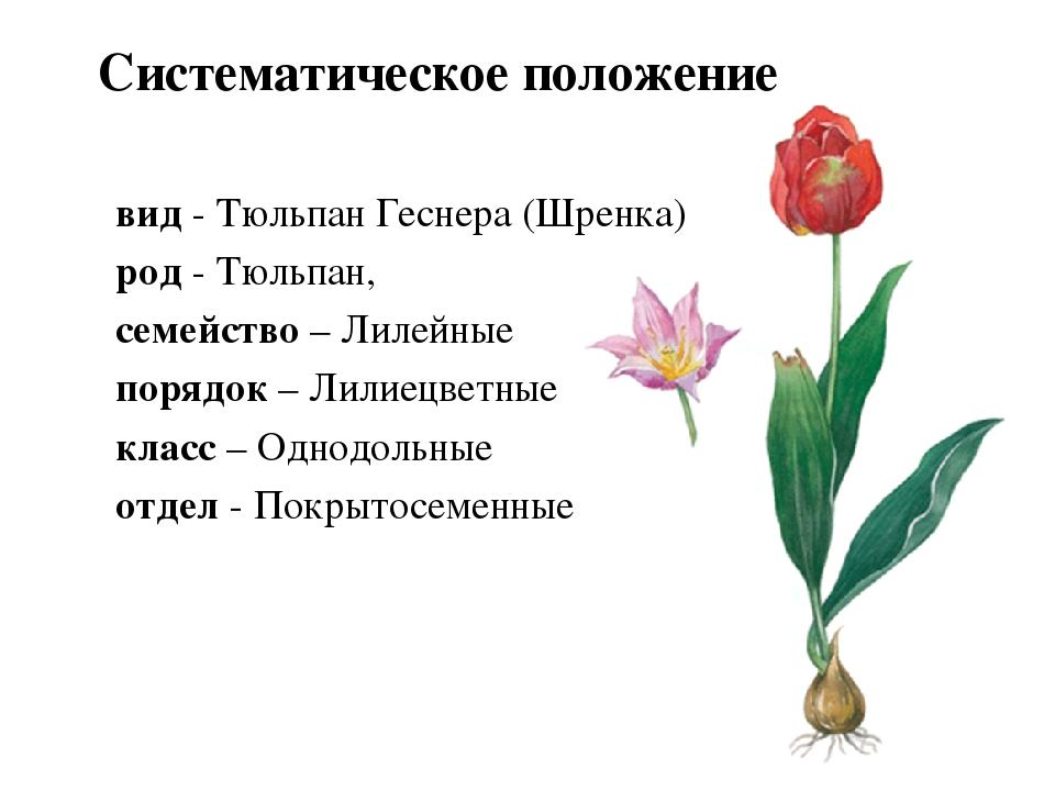 фотографии картинки тюльпана и розы в чем заключается полезный сытный