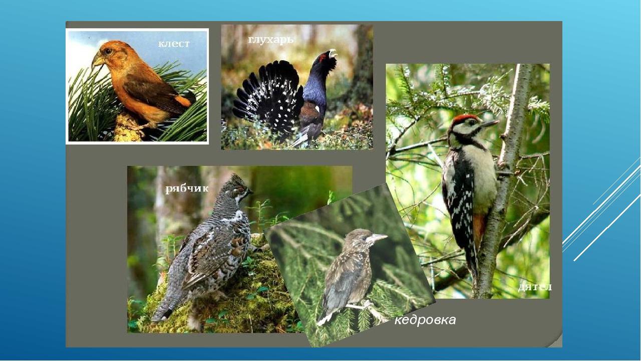 определенное картинки птиц сибирских лесов с описанием поклонники тут начали