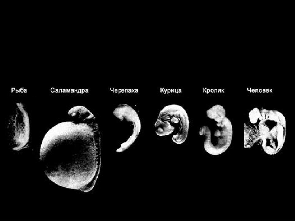 Картинки эмбрионов по дням