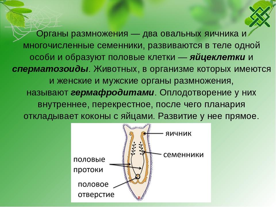 Семенники, семяпроводы яичники, яйцеводы