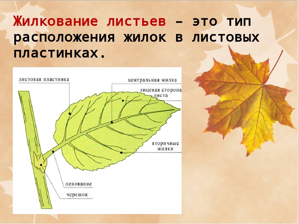 Внешнее строение листьев в картинках