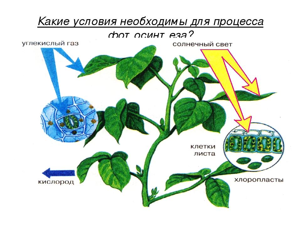 Для чего нужен фотосинтез растениям