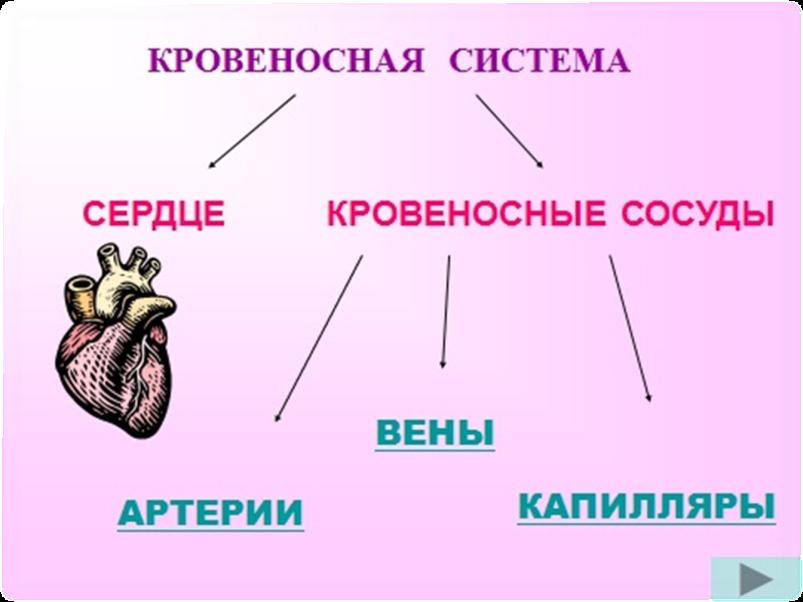 Кровеносная система человека схема 4 класс