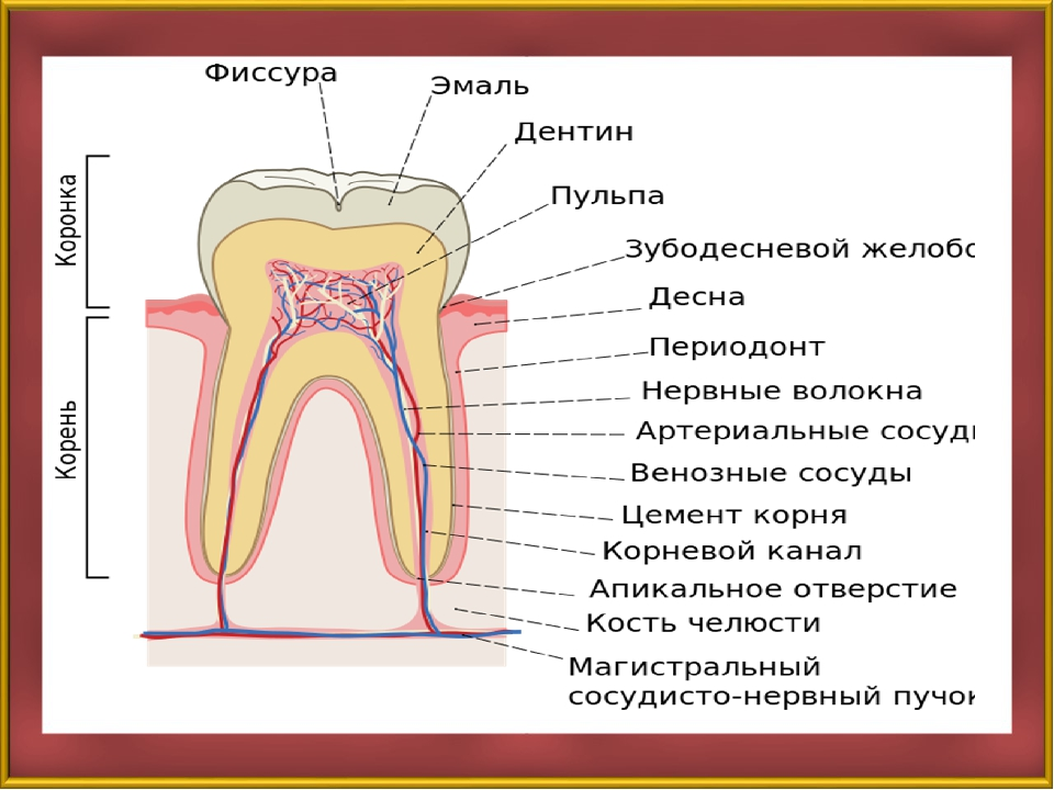 Строение зуба резца