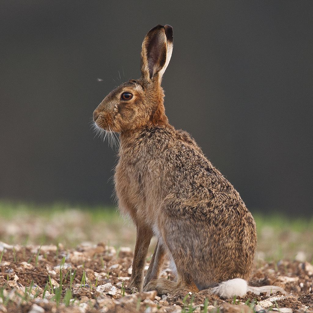 Заяц фото животного