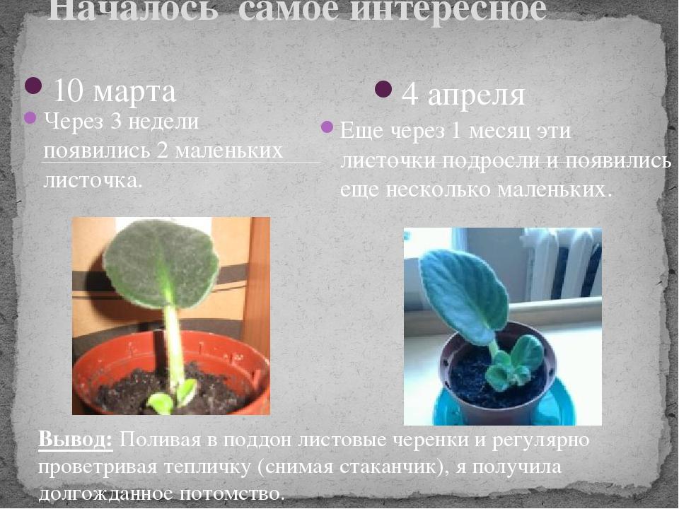 Выращивание фиалки презентация 56