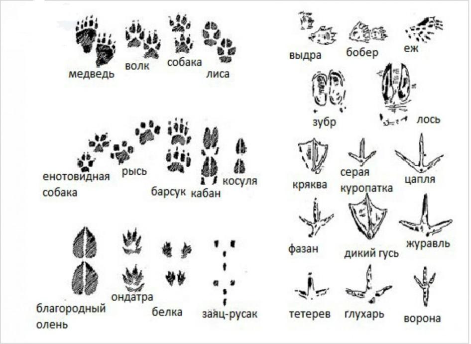 картинки со следами животных с названиями находится совсем