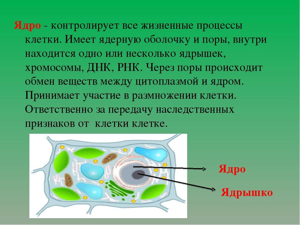 Ядро - контролирует все жизненные процессы клетки. Имеет ядерную оболочку и п...