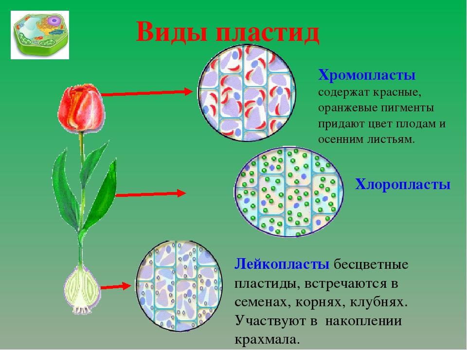 Виды пластид Лейкопласты бесцветные пластиды, встречаются в семенах, корнях,...
