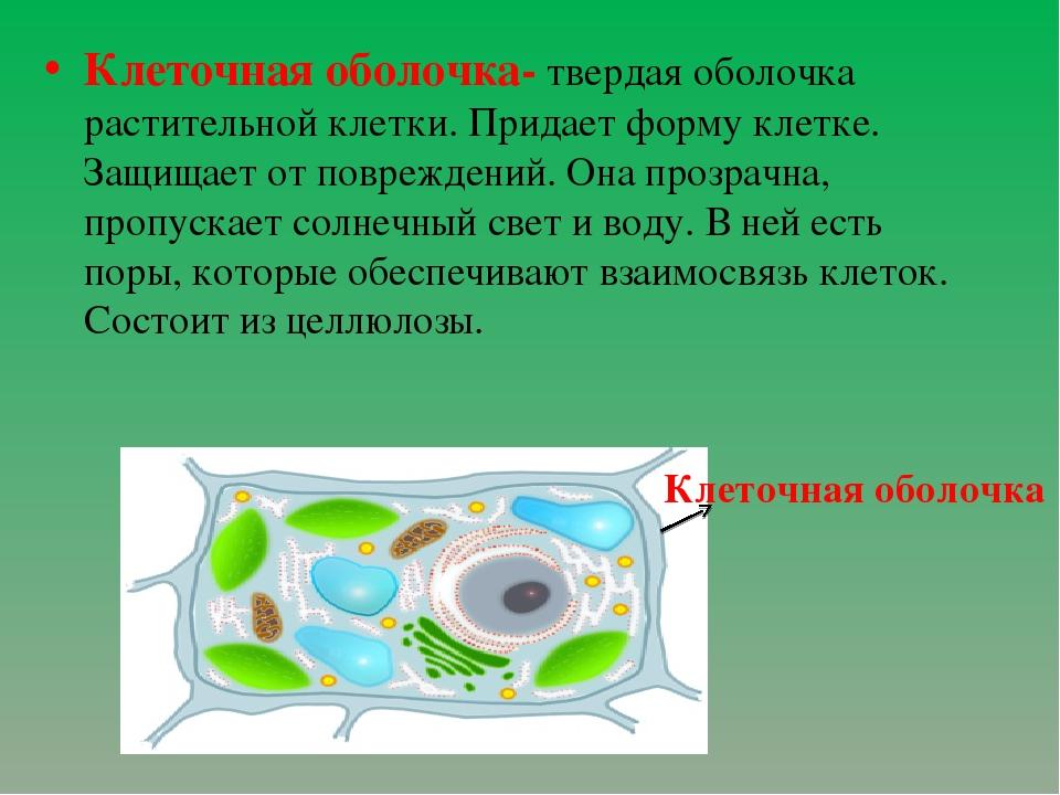 Клеточная оболочка- твердая оболочка растительной клетки. Придает форму клетк...