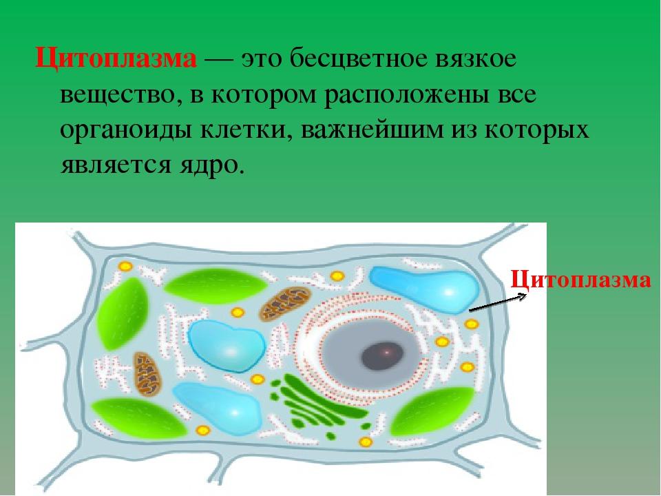 Цитоплазма— это бесцветное вязкое вещество, в котором расположены все орган...