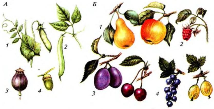 Плоды растений с картинками