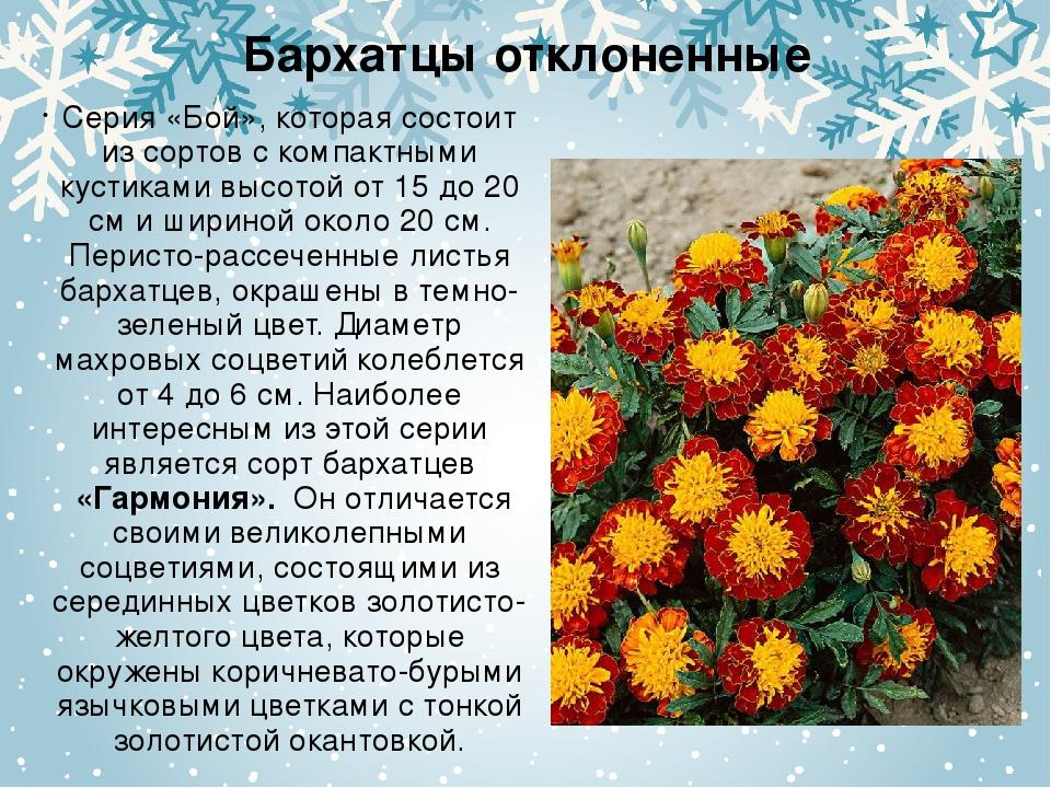 Бархатцы отклоненные Серия «Бой», которая состоит из сортов с компактными кус...