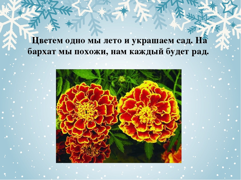 Цветем одно мы лето и украшаем сад. На бархат мы похожи, нам каждый будет рад.