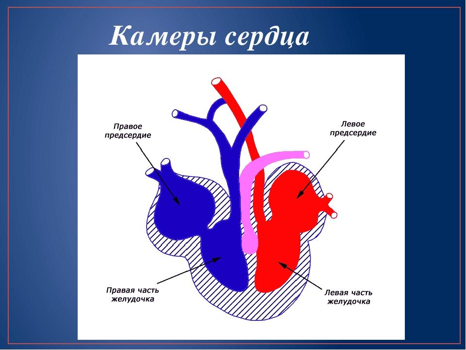 Камеры сердца картинка