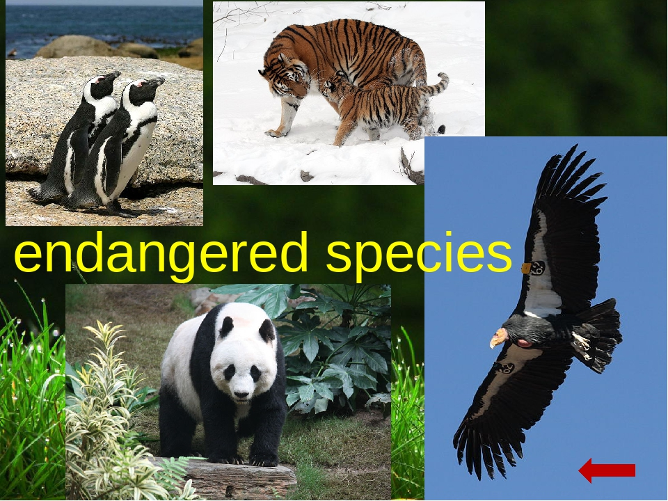 protect endangered species essay Essay help on essay about endangered species figure out what those endangered species are, and how you should write about them dangerous animals, endangered species and human impact on them.