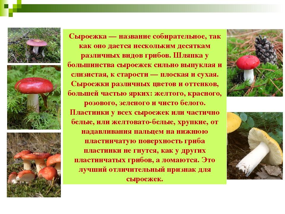 гриб сыроежка фото и описание можно фотографироваться