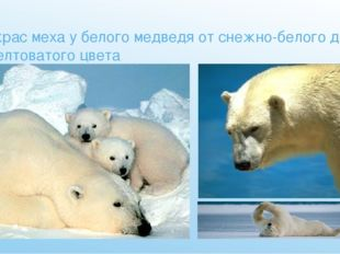 Окрас меха у белого медведя от снежно-белого до желтоватого цвета