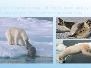Медведи охотятся на тюленей, подстерегая их у лунок, или подбираются к лежащи